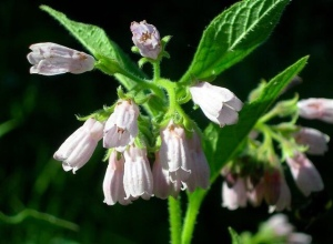 Close up of bell-shaped blooms of wild comfrey